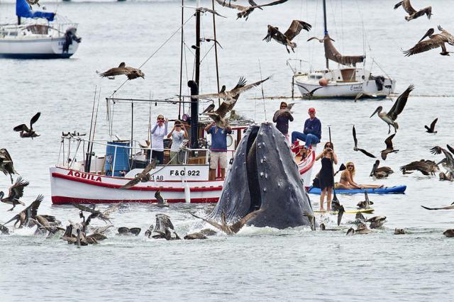 thau baleine